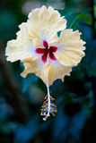 Costa Rica Pale Yellow Hibiscus Flower Photo Poster Print