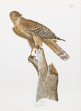 Florida Red Shouldered Hawk