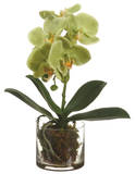 Orchids - Green Phalaenopsis 13""