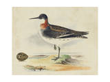 Meyer Shorebirds II