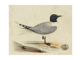 Meyer Shorebirds I