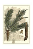 Antique Weymouth Pine Tree