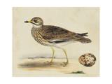 Meyer Shorebirds IV