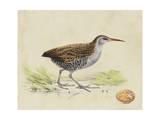 Meyer Shorebirds III
