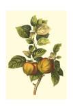 Bessa Apple