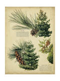 Red Pine and Eastern White Pine