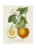 French Orange Botanical I
