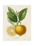 French Lemon Botanical III