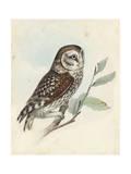 Meyer Little Owl