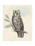 Meyer Scops-Eared Owl