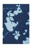 Cyanotype No11