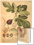 Ficus (Fig) (Coloured Engraving)