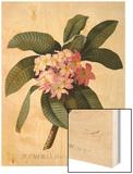 Botanical Print of Frangipani