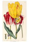 Pubescent-Stalked Tulip (1823 - 1829)