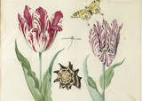 Two Tulips  a Shell  a Butterfly and a Dragonfly  c 1637-1645
