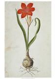 Amaryllis (1777)
