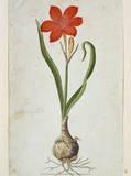 Amaryllis  1777