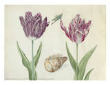 Two Tulips  a Shell and a Grasshopper  c 1637-1645