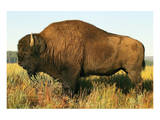 The Noble Bison