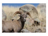 Big Horn Sheep Yellowstone