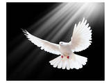 A Free Flying White Peace Dove