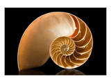 Fibonacci Pattern in a Shell