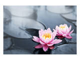 Pink Lotus Blossoms in Pond