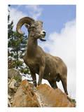 Bighorn Sheep Ram In Banff