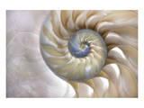 Fibonacci Pattern in Shell