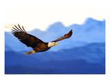 American Bald Eagle Alaska