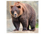 Male Grizzly Bear Ursos Arctos