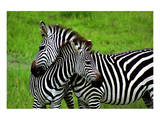 Zebras on Grassland in Zambia