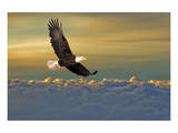 Bald Eagle Flying Above Clouds