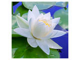 White Lily in Blue Water