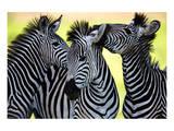 Wild Zebra Socialising-Africa