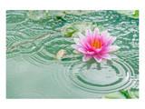 Lotus Flower in Pond Rain Drop