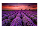 Lavender Field Sunset Provence