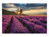 Lavender Field & Tree Sunrise