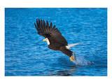 Bald Eagle Fish Talons Alaska
