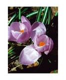 Double Lavender Crocus