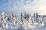 Snow Covered Trees  Riisitunturi National Park  Lapland  Finland
