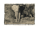 Elephant Walking Towards Camera in African Bush  Tanzania