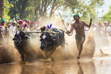 Kambala  Traditional Buffalo Racing  Kerala  India