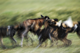 Wild Dogs Feeding on Young Wildebeeste   Piyaya  Tanzania