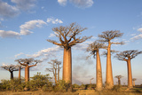 Madagascar  Morondava  Les Alla Des Baobabs at Sundown