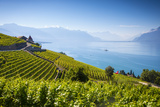 Vineyards Above Vevey  Lake Geneva  Vaud  Switzerland