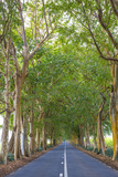 Tree Lined Road  Flacq  East Coast  Mauritius