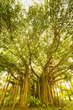 Banyan Tree  D'Eau Douce  Flacq  East Coast  Mauritius