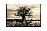 Baobab Tree in Ruaha National Park  Southern Tanzania