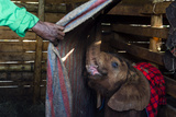 A Wildlife Carer Sleeping in a Wildlife Shelter Barn with an Orphaned African Elephant Calf